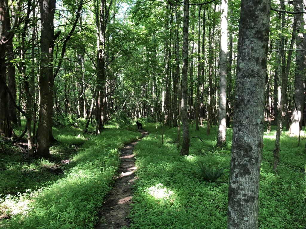 [IMAGE DESCRIPTION: A photo of woods with deciduous trees in full leaf, with a path running down the middle in between a forest floor of tall grasses.]