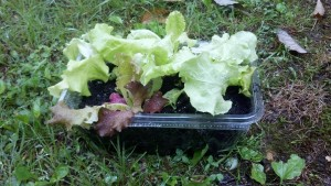 Greens Garden, planted in an old salad container